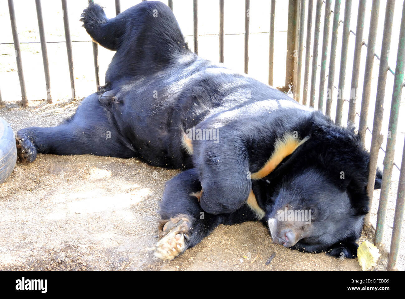 The black bear has a rest, lying in a cage - Stock Image