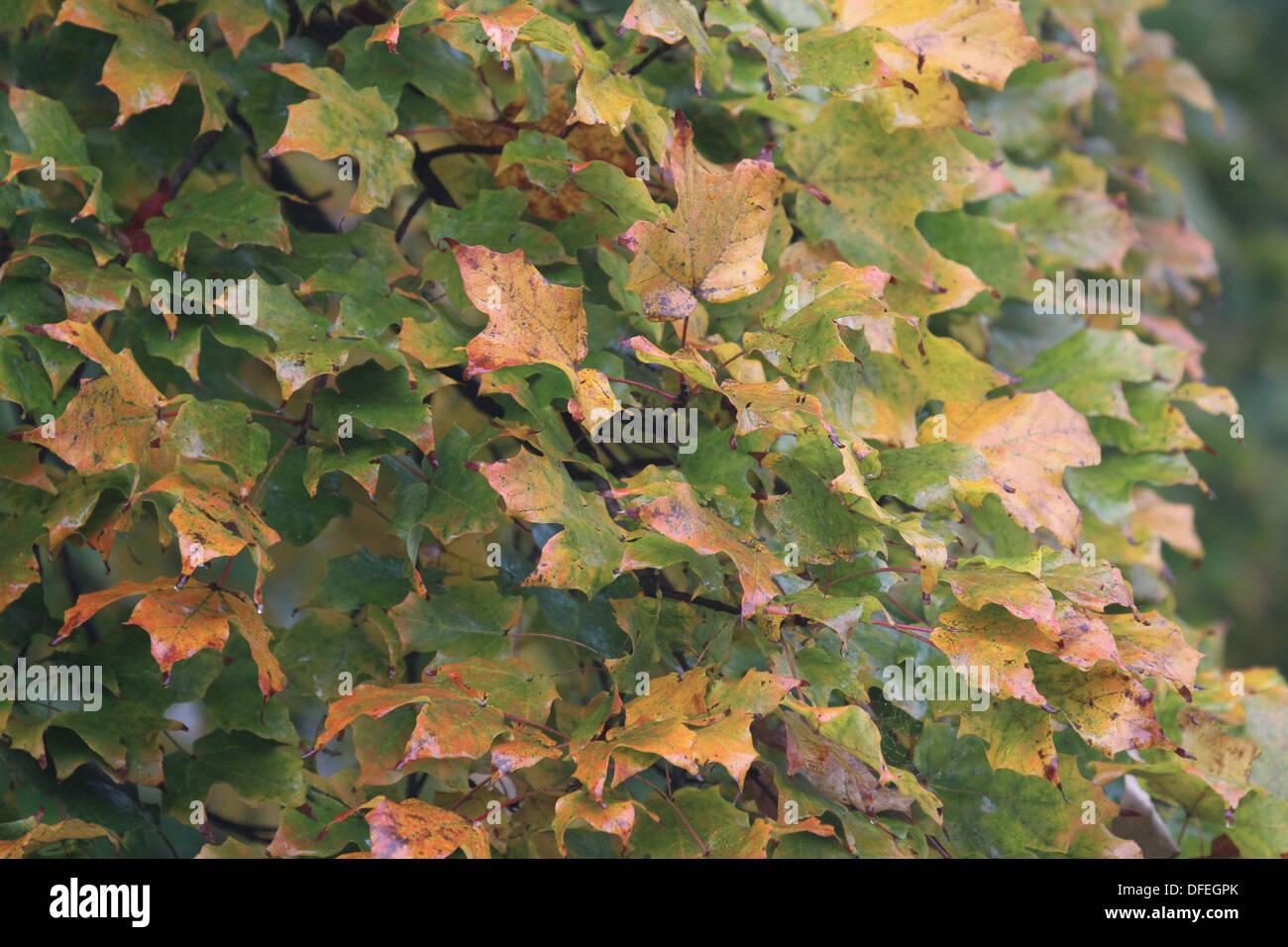 Fall leaves orange yellow green Stock Photo
