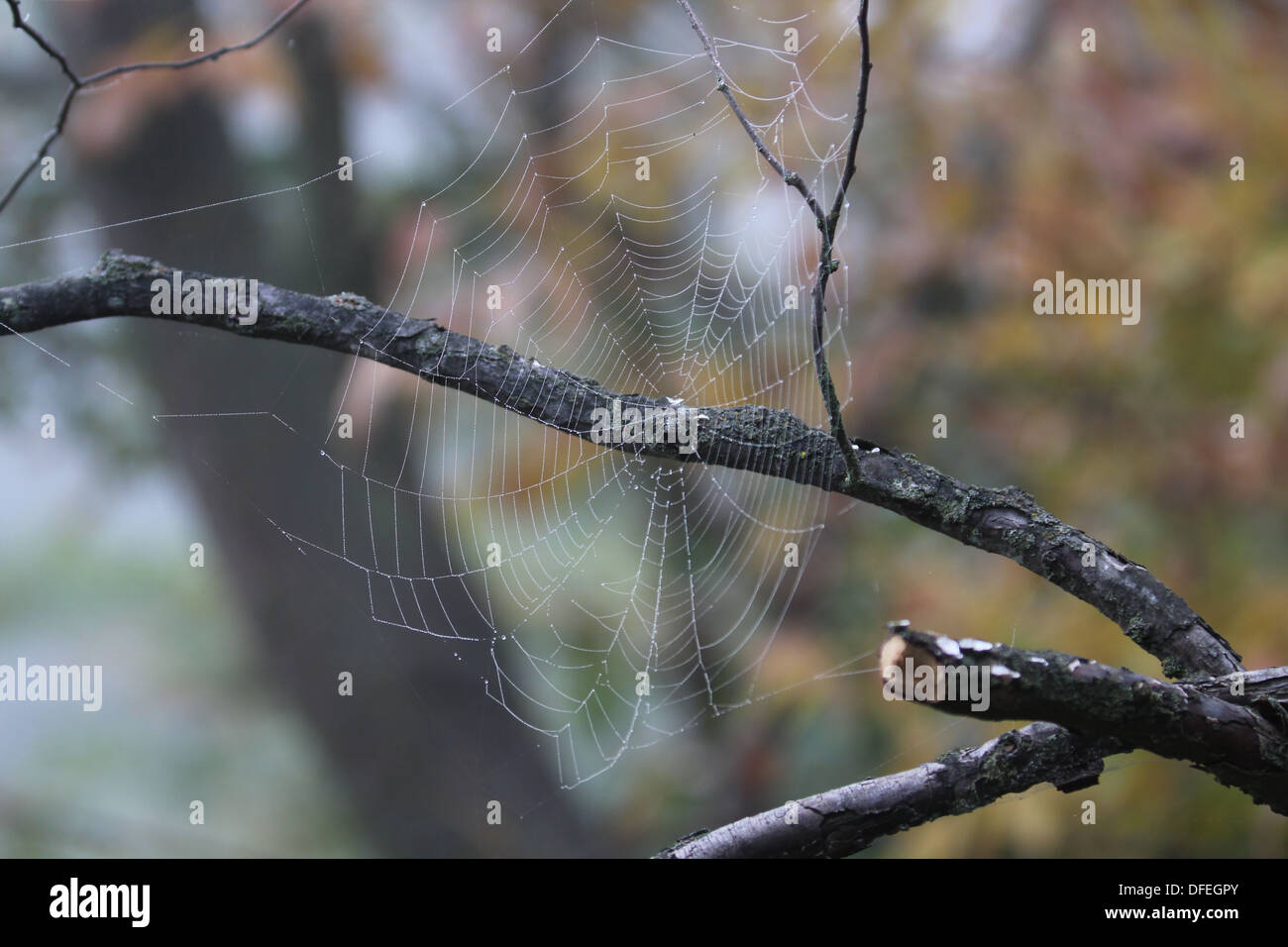 Orb spider web on branch Stock Photo