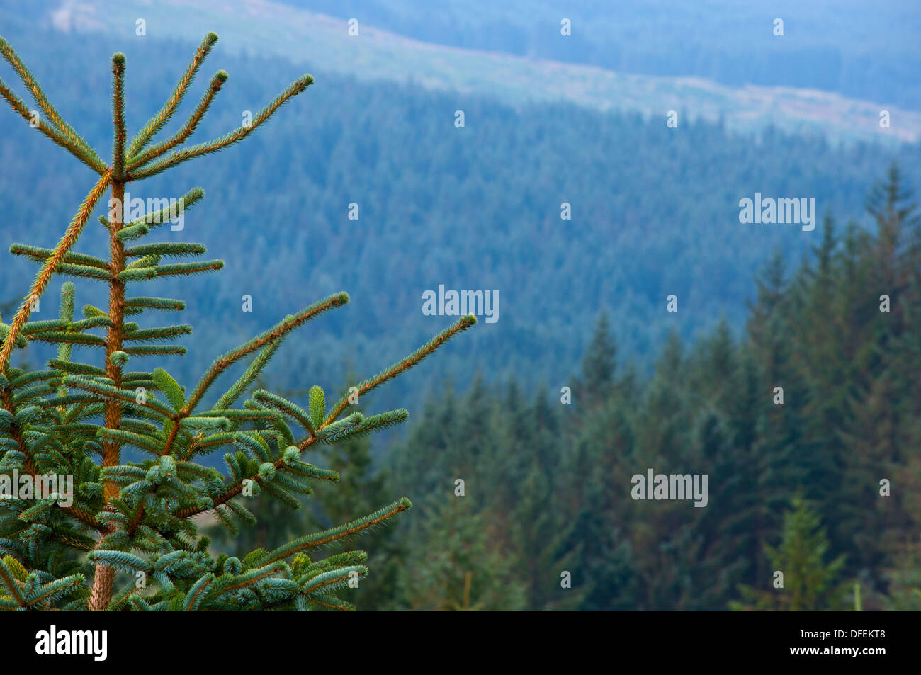 Norway spruce Picea abies growing in Galloway Forest Scotland - Stock Image