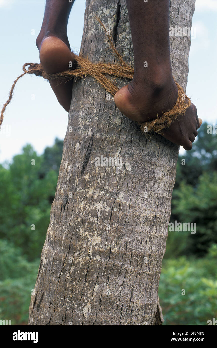 African man with his feet binded togehter in order to climb up a coconut palm, Unguja Island, Zanzibar Archipelago, Tanzania, - Stock Image