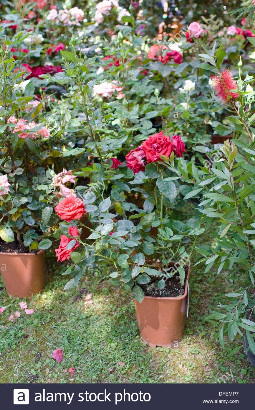 Roses For Sale Near Me >> Rose Flowers Plants On Display For Sale Naples Italy Stock