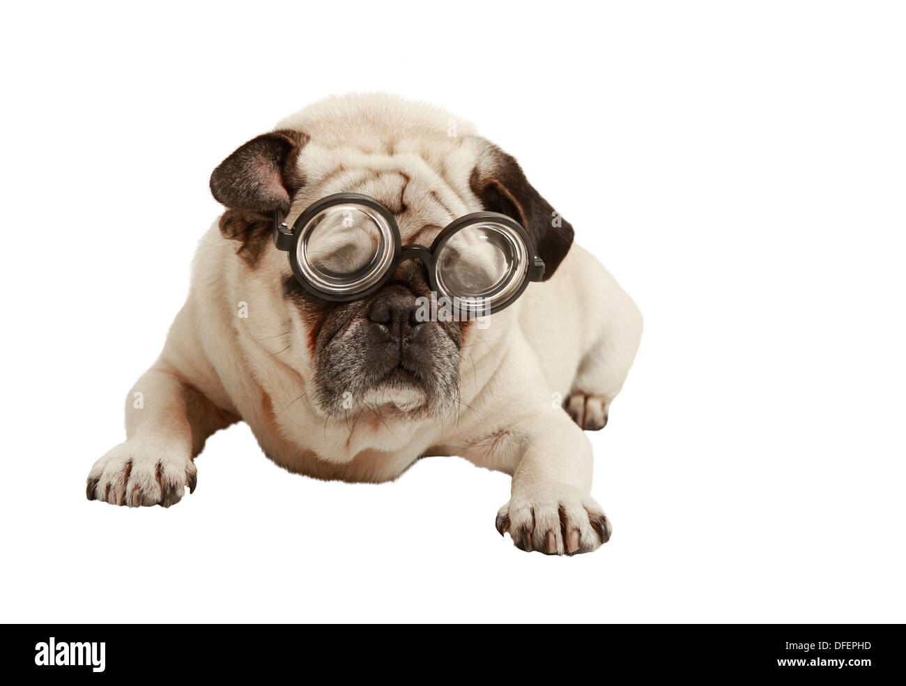 Pug with glasses, exempted, white background, recumbent, cutout - Stock Image