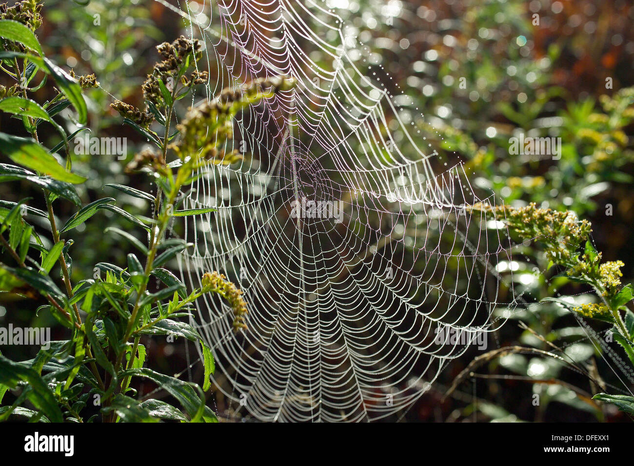 Spiderweb suspended from summer branch, Vermont - Stock Image