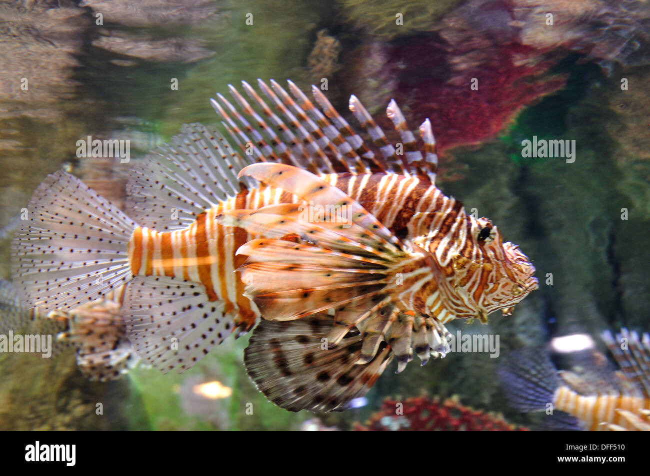 Volitans Lion fish. Clear water - Stock Image