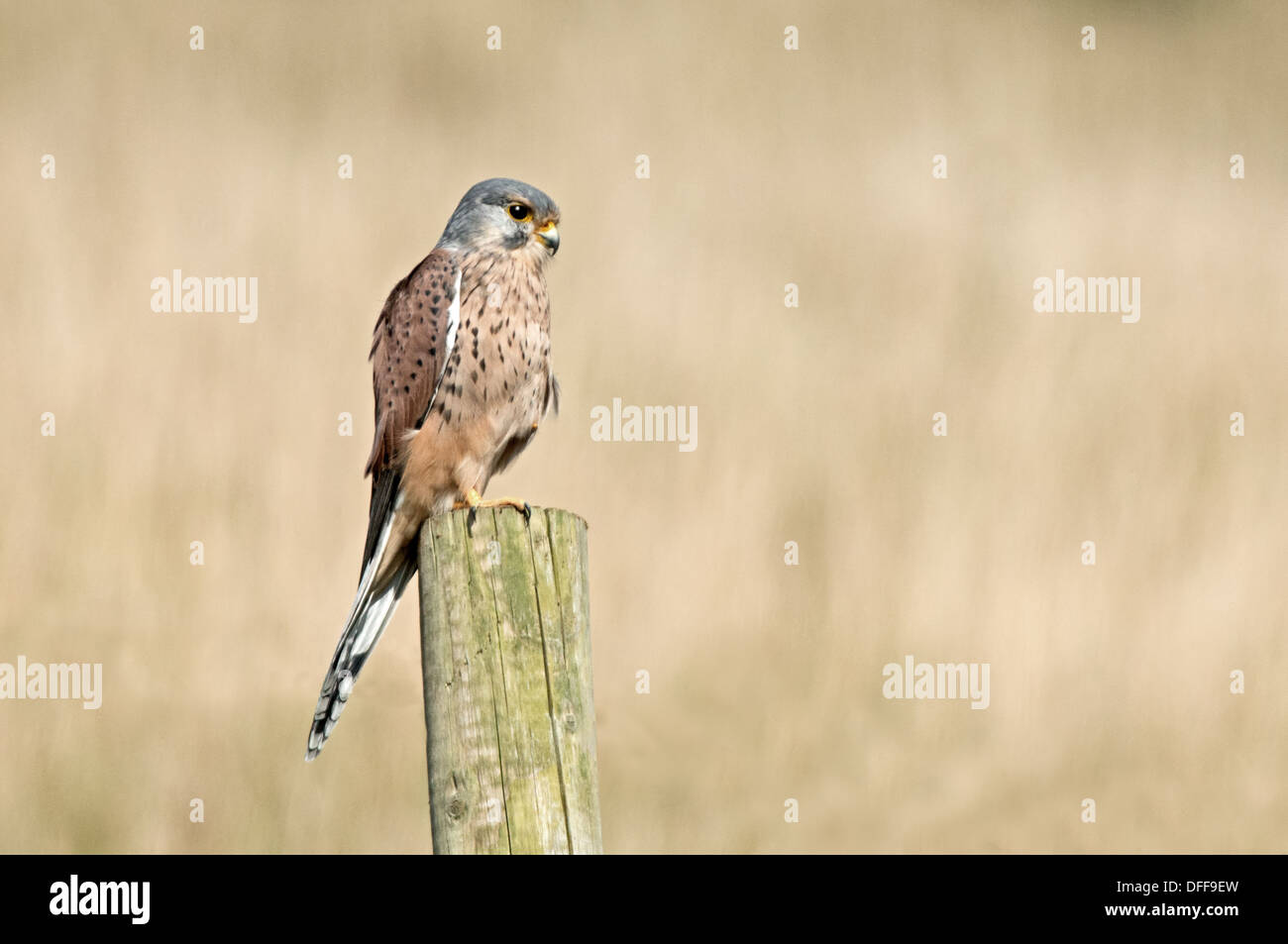 Male Kestrel, Falco-tinnunculus Perches On Fence Post. Uk - Stock Image