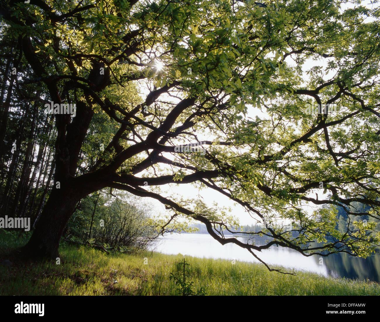 Ehe Mazury Lake region. Old oak by the lake - Stock Image
