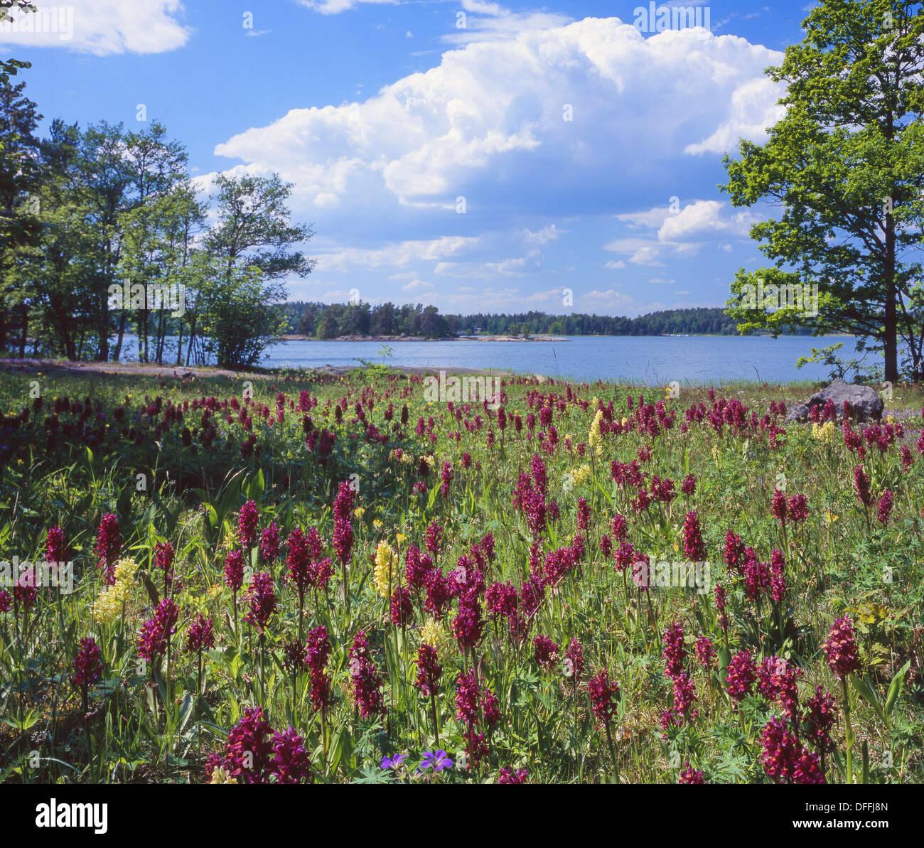 Orchids At ängsö National Park Uppland Sweden Stock Photo 61194581