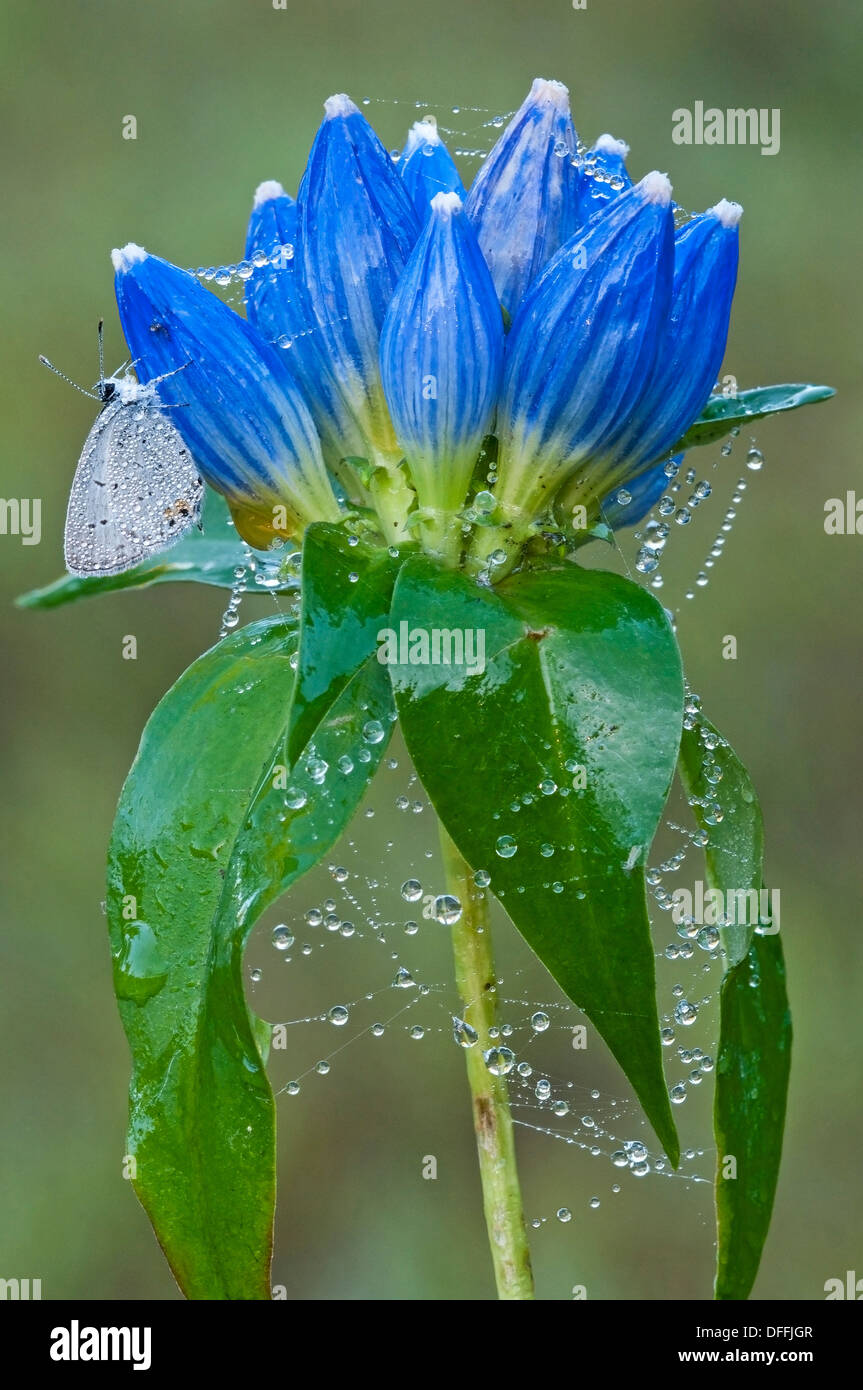 Eastern Tailed-Blue Butterfly Cupido comyntas on dewy spider web covered Bottle Gentians Gentiana andrewsii Eastern USA - Stock Image