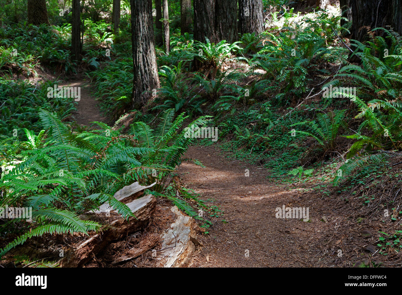 Redwoods, Douglas Fir, and ferns line the trail at Oregon Redwoods Trail in the Siskiyou National Forest near Brookings, Oregon. Stock Photo