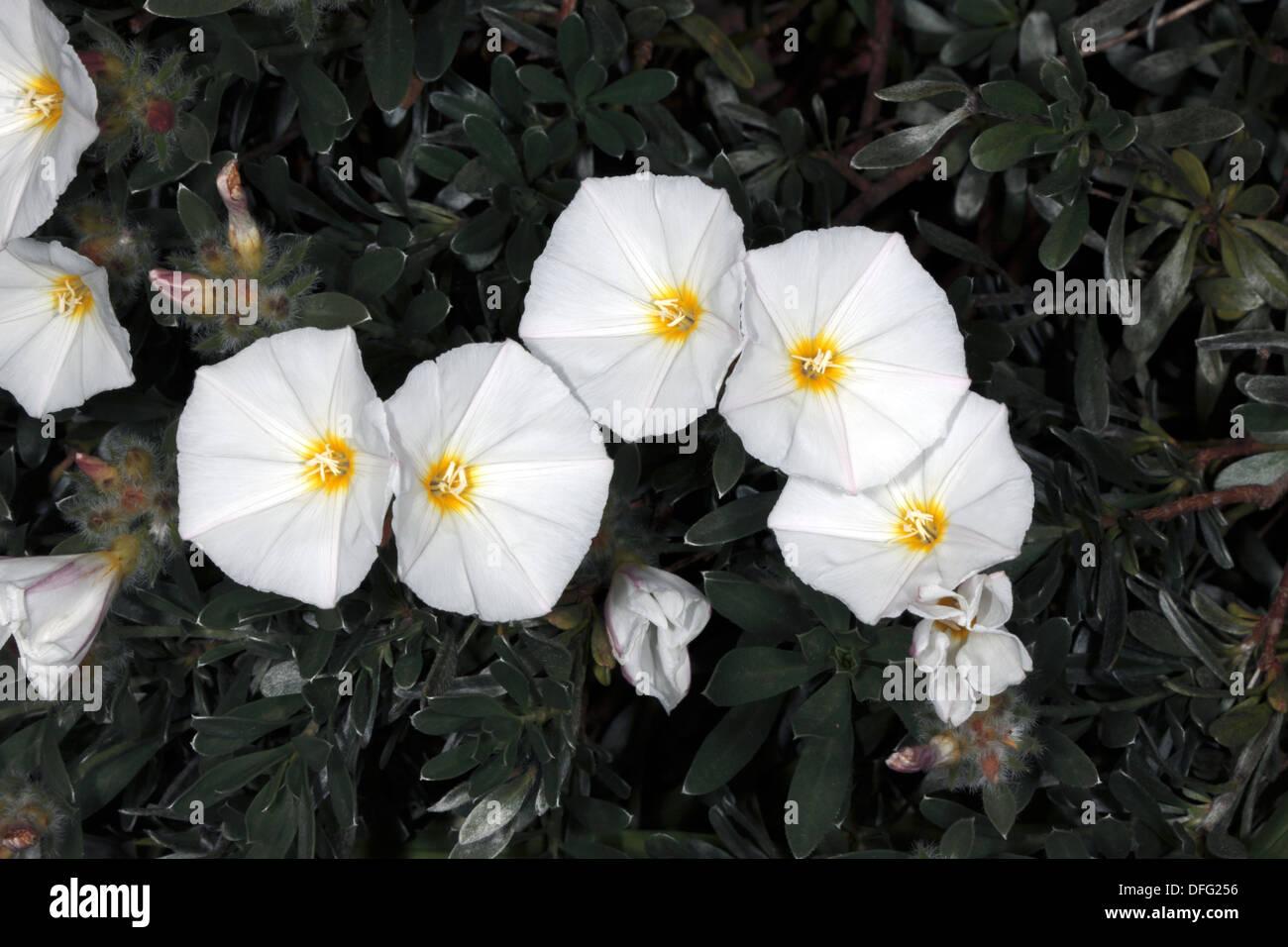 White Bindweed / False Bindweed / Morning Glory - Convolvulus - Family Convolvulaceae - Stock Image