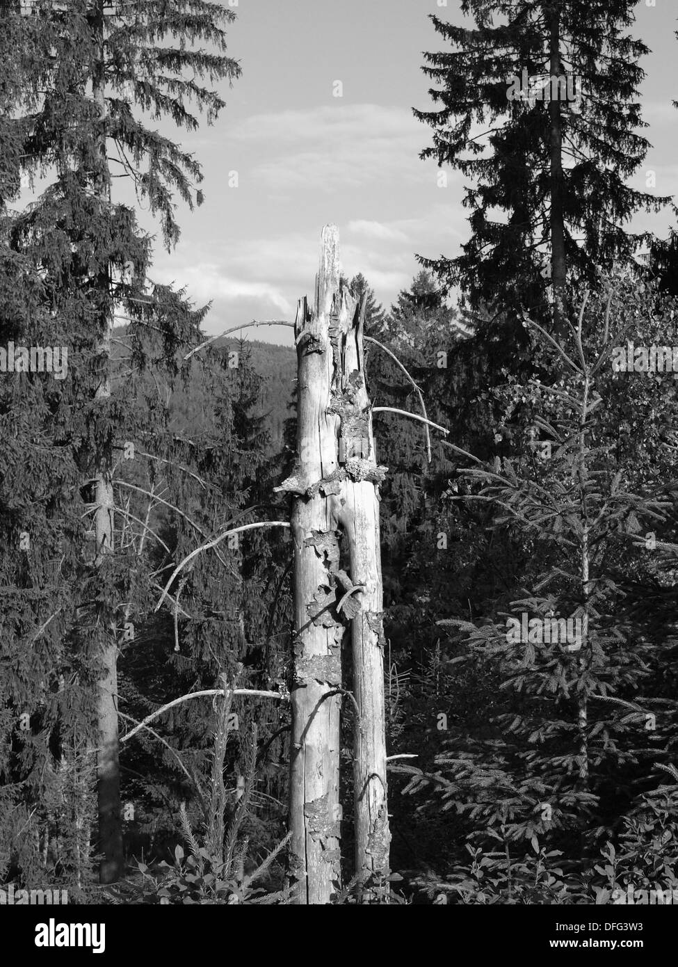 Old broken spruce tree in the forest black and white Stock Photo