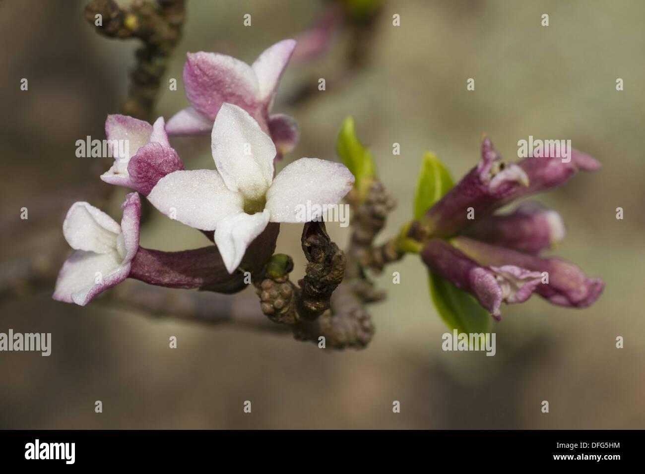 daphne - Stock Image