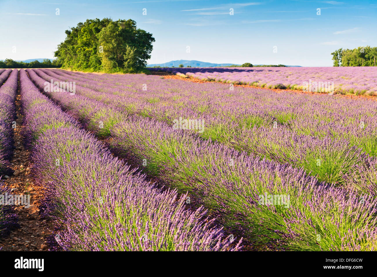 Lavender field in Provence, France, Europe - Stock Image