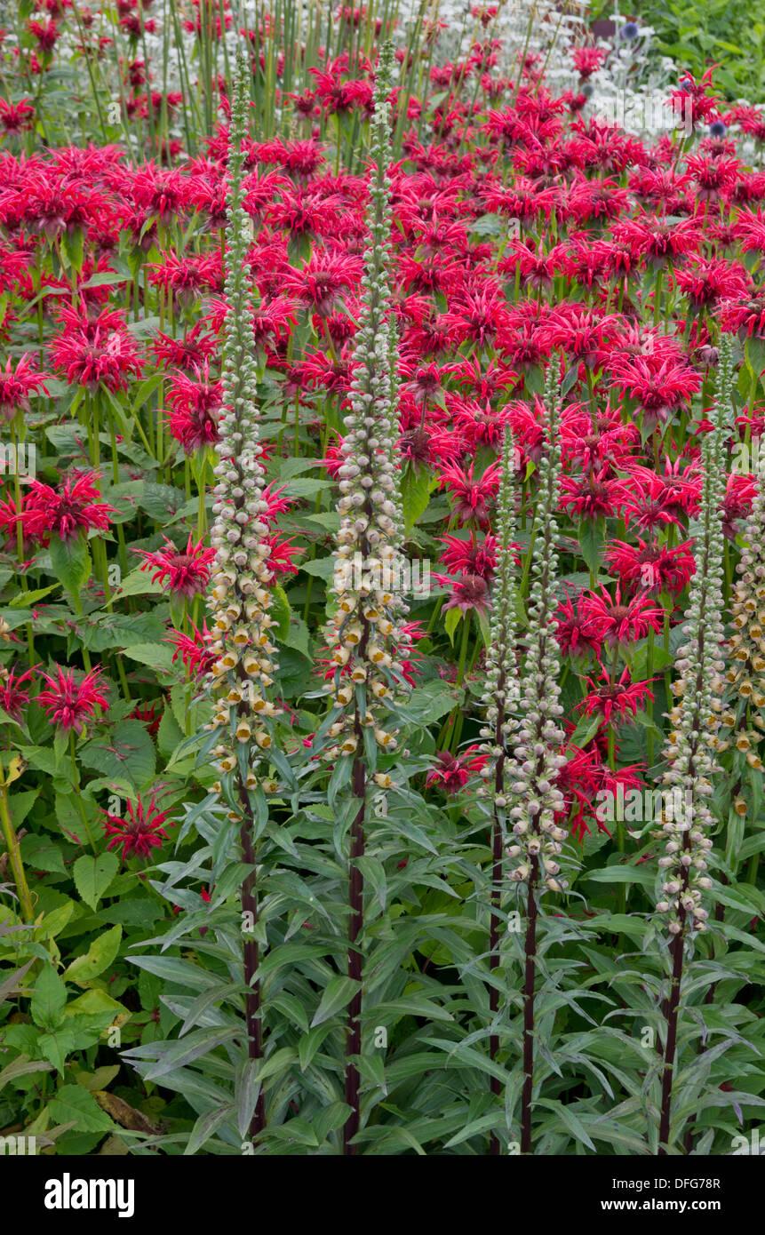 Monarda 'Gardenview Scarlet' and Digitalis Ferruginea - Stock Image