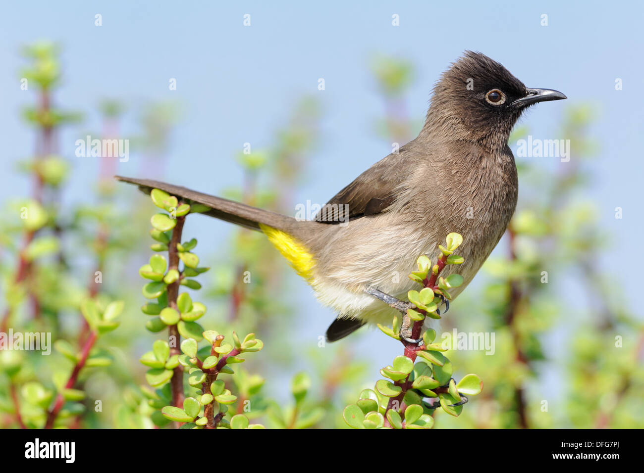 Cape Bulbul (Pycnonotus capensis), perched on a twig, Addo National Park, Eastern Cape, South Africa, Africa Stock Photo
