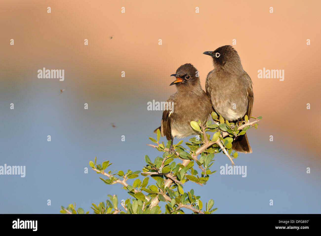 Two Cape Bulbuls (Pycnonotus capensis), perched on a twig, juvenile on the left, Addo National Park, Eastern Cape, Stock Photo