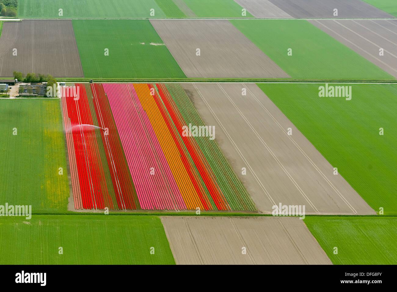Field irrigation, tulip fields, aerial view, Zeewolde, Flevoland, The Netherlands - Stock Image