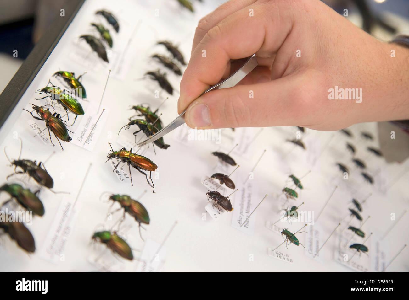 Identification of  forest beetles (Coleoptera Carabidae), Entomology box, Entomology Laboratory, Neiker Tecnalia, - Stock Image