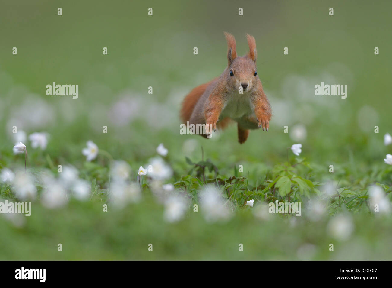 Red Squirrel or Eurasian Red Squirrel (Sciurus vulgaris), jumping, Saxony, Germany - Stock Image