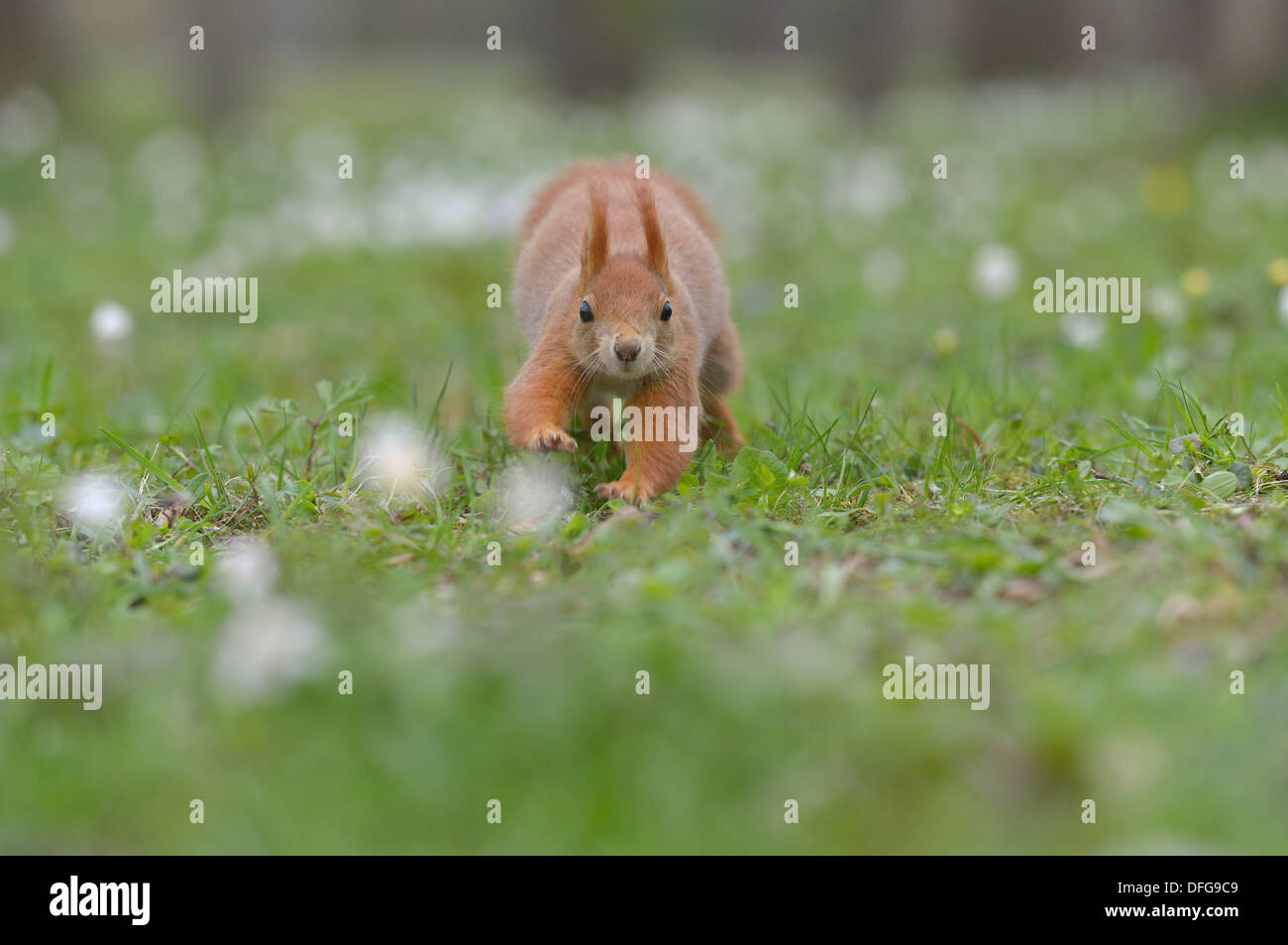 Red Squirrel or Eurasian Red Squirrel (Sciurus vulgaris), running, Saxony,  Germany