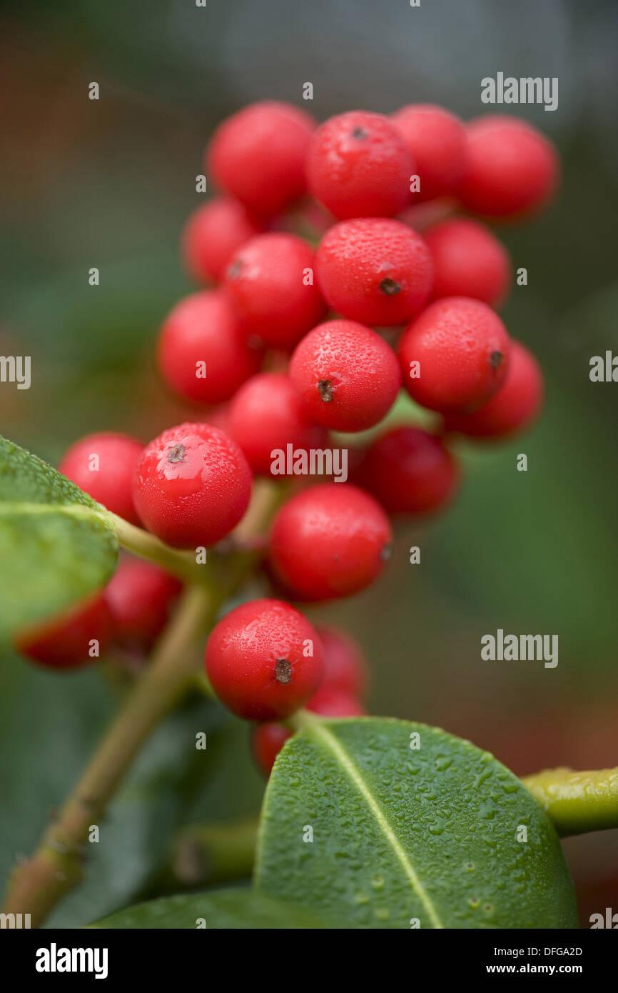 common holly, ilex aquifolium Stock Photo
