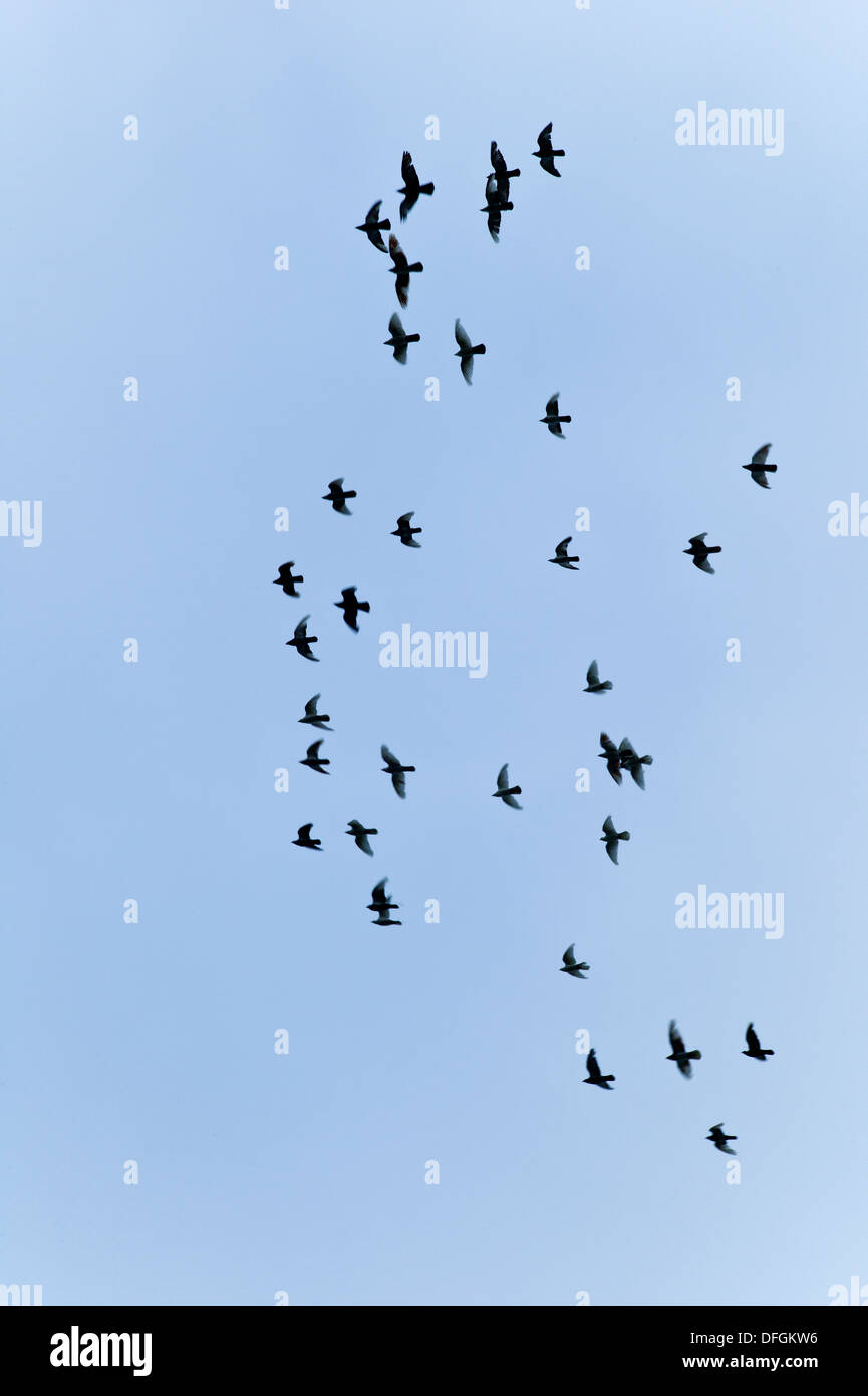 Birds in Flight Cornwall UK Credit: David Levenson/Alamy - Stock Image