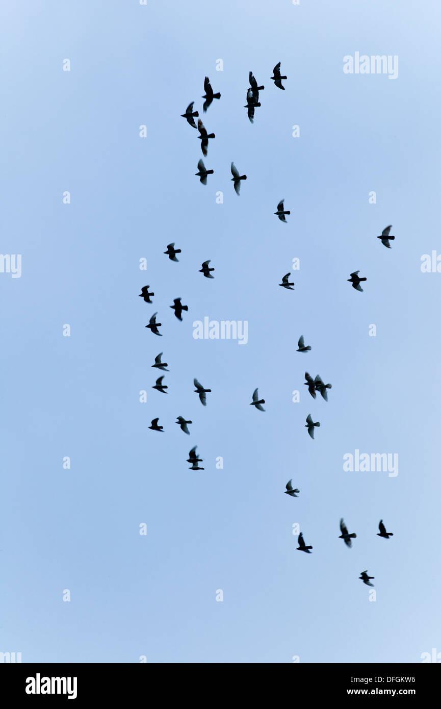 Birds in Flight Cornwall UK Credit: David Levenson/Alamy - Stock Image