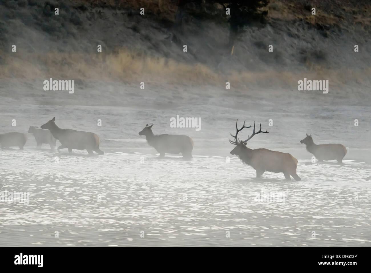Elk, wapiti Cervus elaphus Harem fording Yellowstone River Yellowstone National Park Wyoming USA - Stock Image