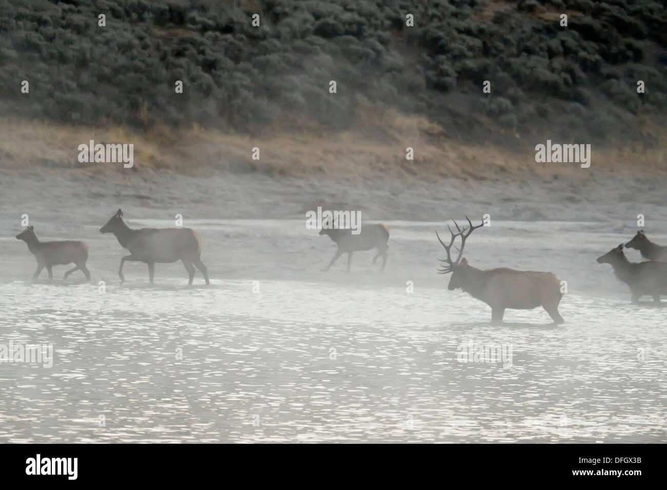 Elk, wapiti Cervus elaphus Harem fording Yellowstone River, Yellowstone National Park, Wyoming,  USA - Stock Image