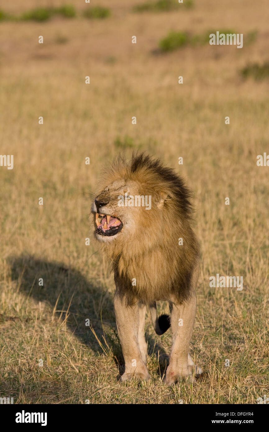 A male lion growls at the approaching female in the pride - Stock Image