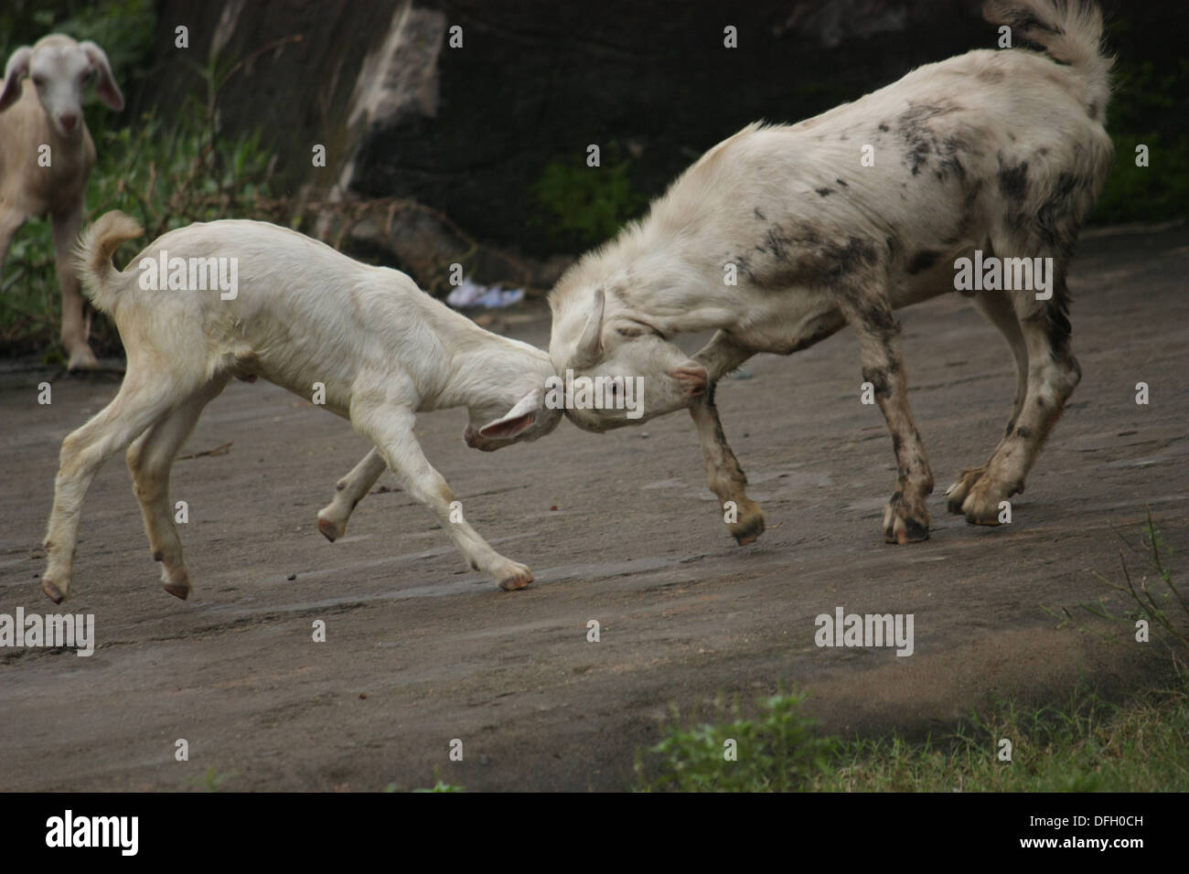 Perfect Timing -  A timely snap shows the 'head on collision' of two goats. - Stock Image