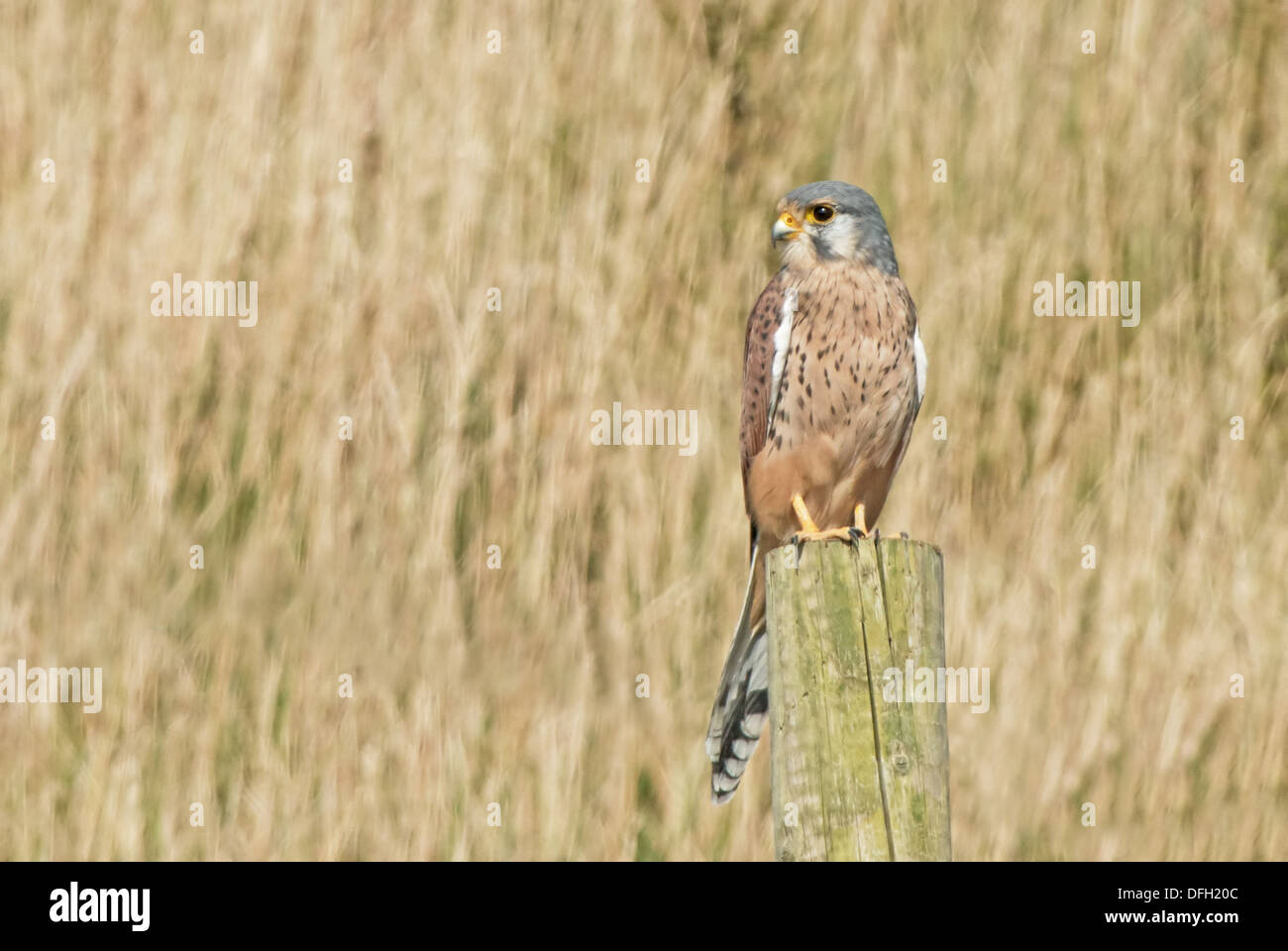 Male Kestrel, Falco-tinnunculus Perches On Fence Post. Uk Stock Photo