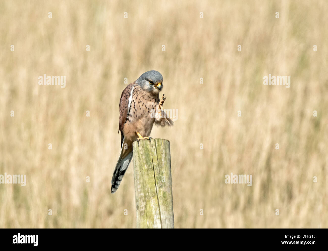 Male Kestrel, Falco-tinnunculus Perches On Fence Post Preening. Uk - Stock Image