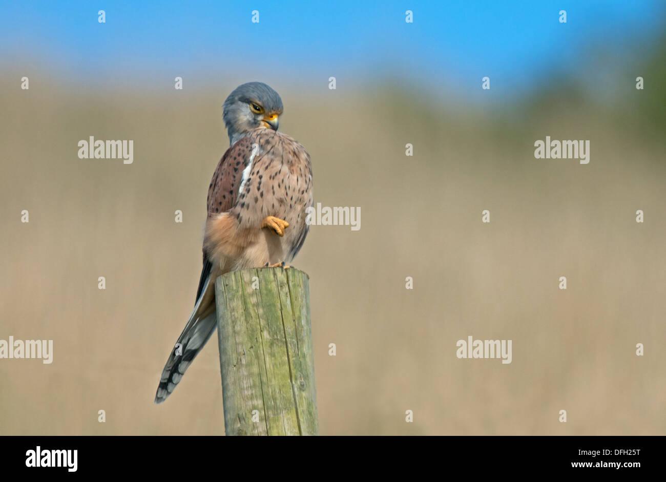 Male Kestrel, Falco-tinnunculus Perches On Fence Post, Preening, Uk - Stock Image