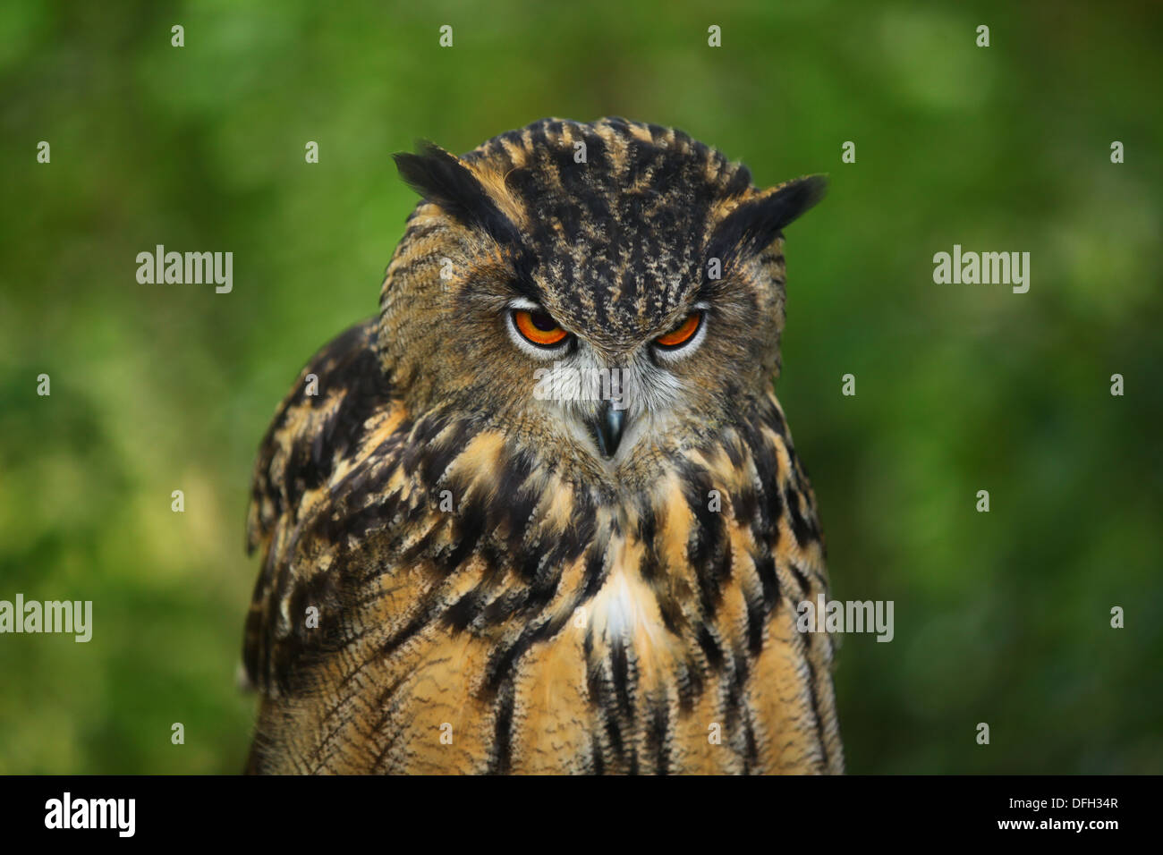 Eagle Owl with menacing stare - Stock Image