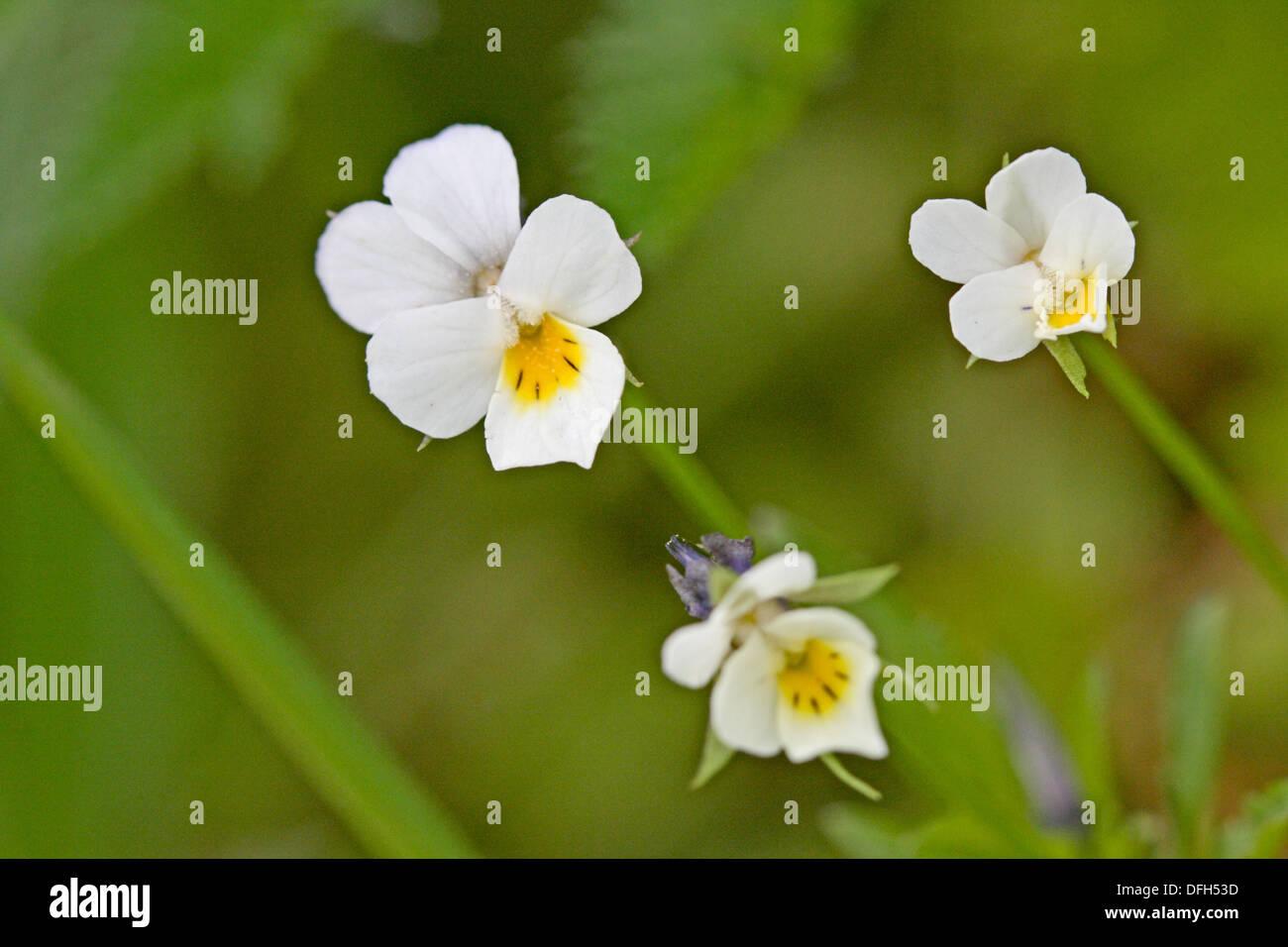 Viola Kitaibeliana In Flower Radlice Czech Republic Miniature Stock