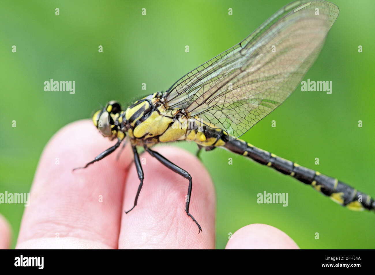 Emerging Common Clubtail, Gomphus vulgatissimus on photographer´s hand Severe wing damage  Males will turn green Stock Photo