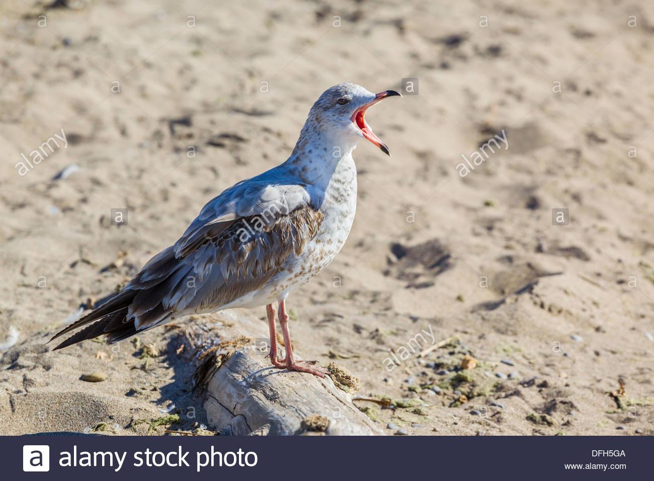 Immature Ring-billed Gull (Larus delawarensis) Stock Photo