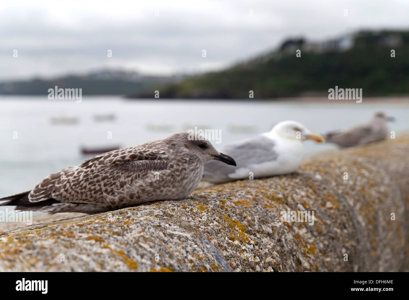 Three herring gulls hunkered down on the harbour wall St Ives, Cornwall - Stock Image