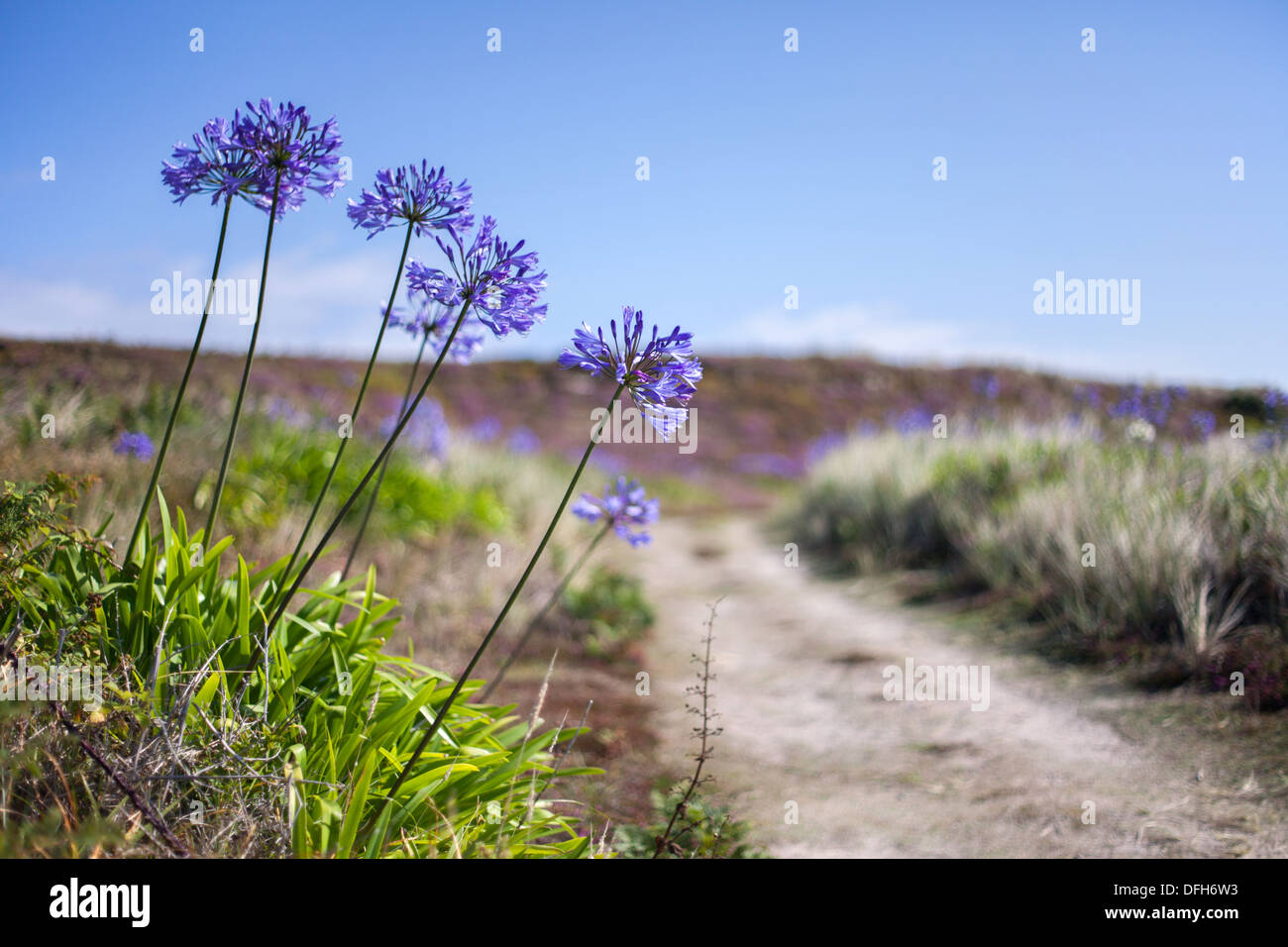 Blue agapanthus flowers at the side of a path leading to the beach, Tresco, Isles of Scilly, UK - Stock Image