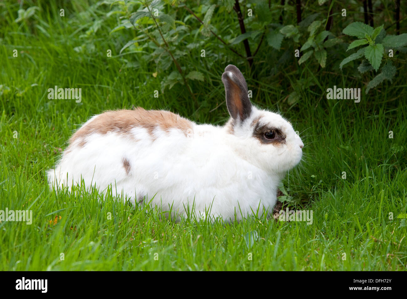 A pet rabbit enjoys the long grass and freedom of a Devon, UK, garden. - Stock Image