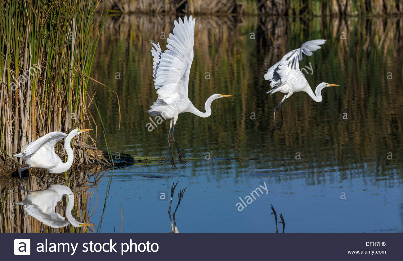 Three shot sequence of same Great Egret (Ardea alba) takeoff in Rouge National Urban Park in Toronto Ontario Canada - Stock Image