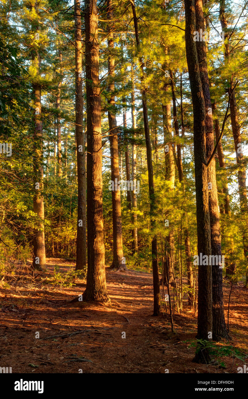 Amber-colored late afternoon sun filters through the trees in the Harold Parker State Forest in Andover, Massachusetts - Stock Image