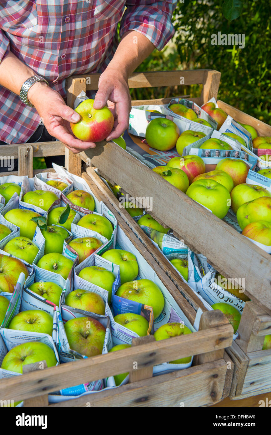 Gardener sorting Bramley apples for winter storage, - Stock Image