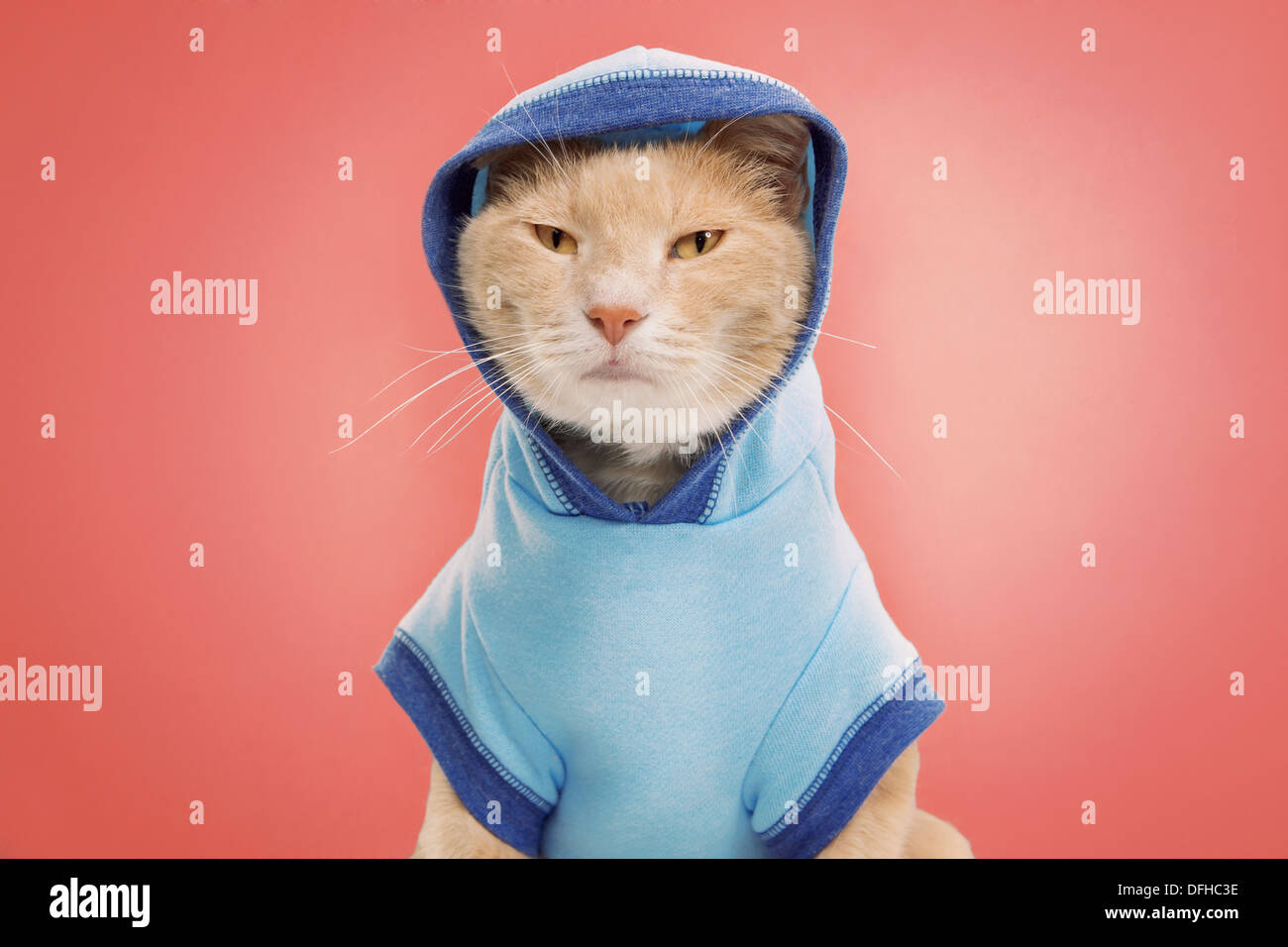 studio portrait of ginger cat wearing two tone blue sweatshirt with hoodie - Stock Image