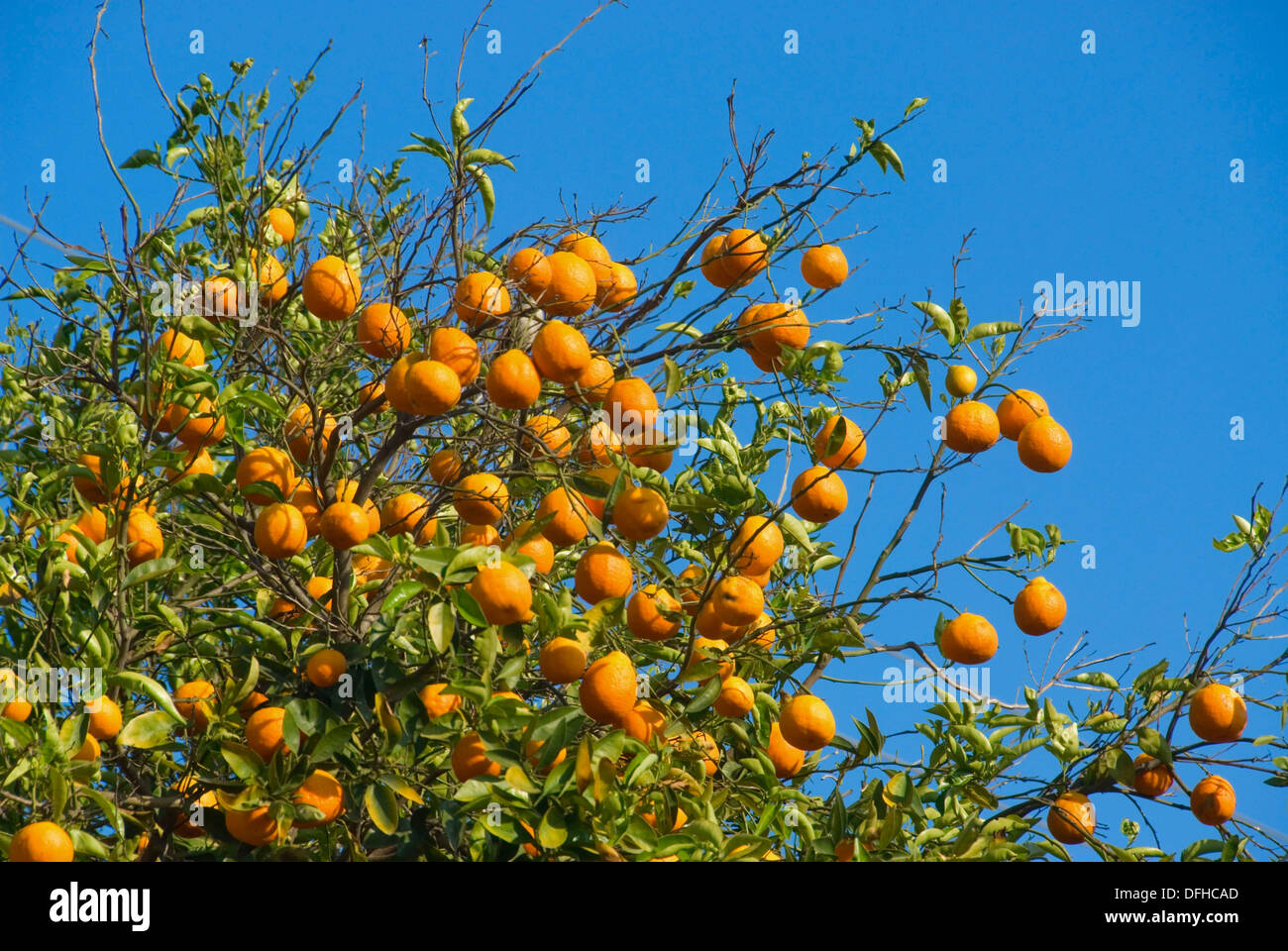 Oranges on tree in San Pasqual Valley, San Diego County, California Stock Photo