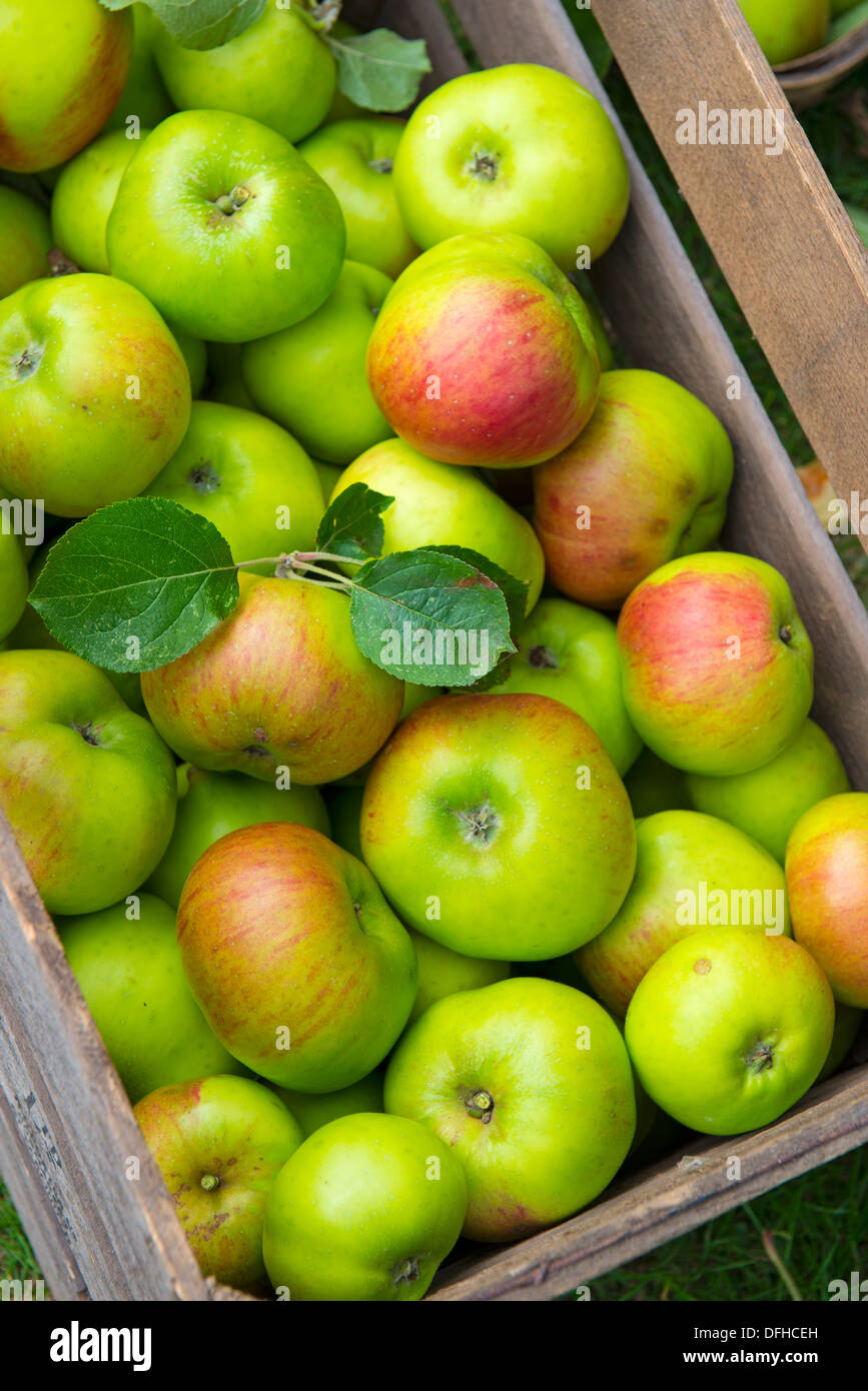 Wooden Box of bramley Apples Stock Photo