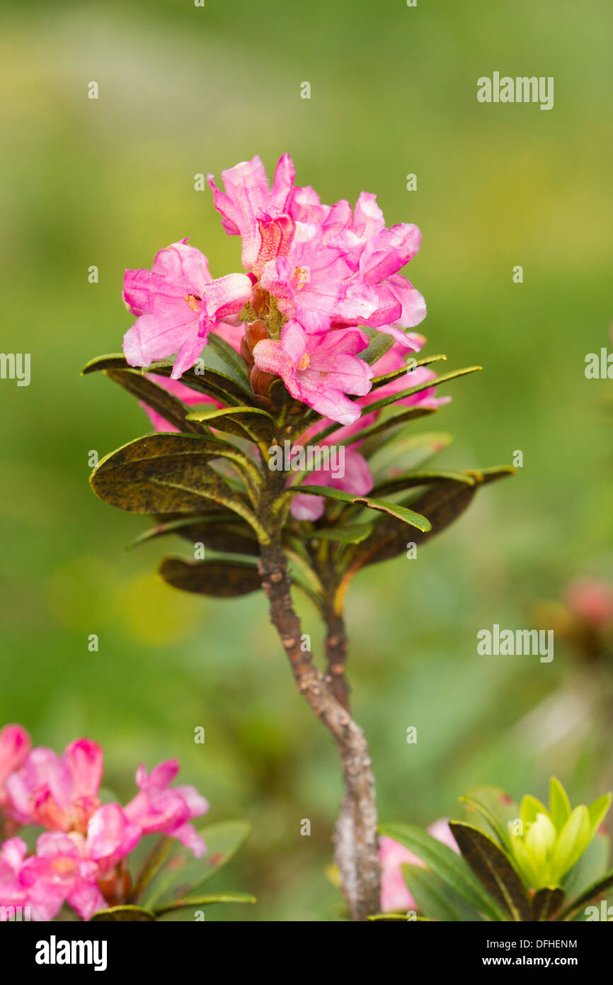 Alpenrose (Rhododendron ferrugineum) flower Stock Photo