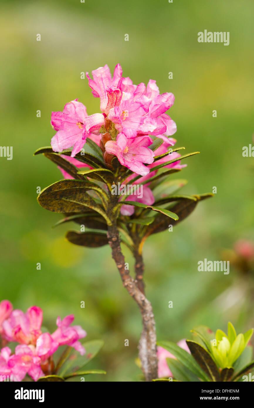 Alpenrose (Rhododendron ferrugineum) flower - Stock Image